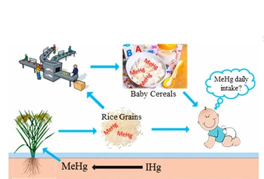 Au cours de ces 10 dernières années, le riz est apparu comme une autre source potentielle d'exposition au mercure.