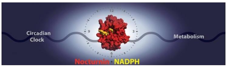 Une enzyme de l'horloge circadienne, Nocturnine interagit avec sa cible, NADPH, pour affecter la régulation de l'énergie et les fonctions métaboliques.
