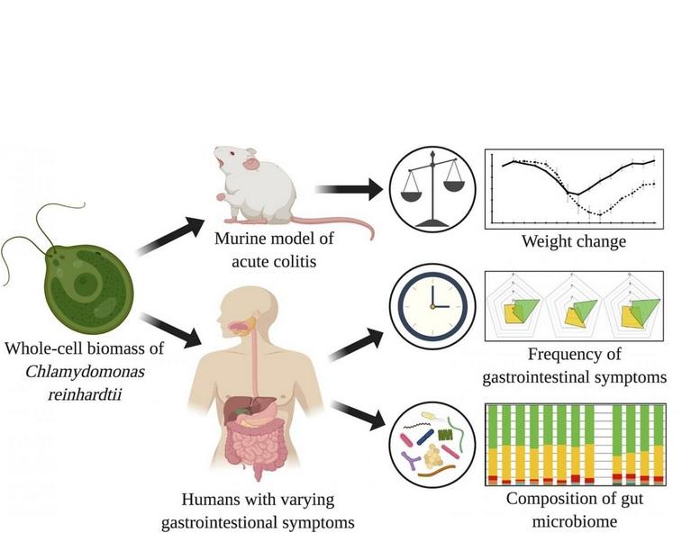 De premières données issues d'études sur des souris ont déjà montré que la consommation de C. reinhardtii réduit considérablement le taux de perte de poids chez les souris atteintes de colite aiguë