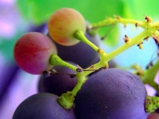 Les polyphénols du raisin apportent une résistance accrue aux coups de soleil (Visuel Fotolia)